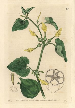 Birthwort, Aristolochia clematitis