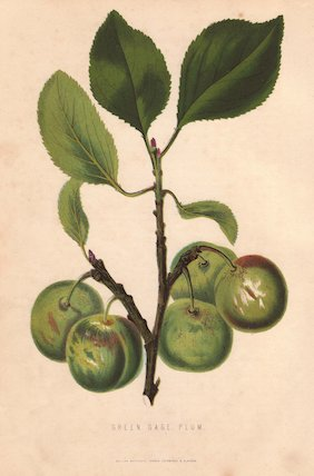 Ripe fruit and leaves of the Greengage plum, Prunus domestica italica.