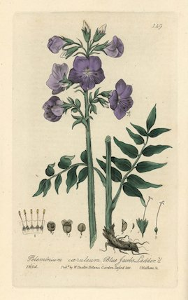 Blue Jacob's ladder Polemonium caeruleum