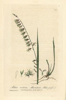 Mountain melic grass Melica nutans