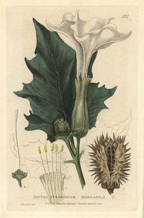 Thorn apple Datura stramonium
