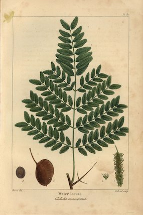Water locust tree, Gledistia monosperma
