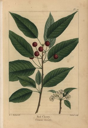 Red cherry tree, Cerasus borealis