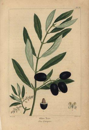 Olive tree, Olea europaea