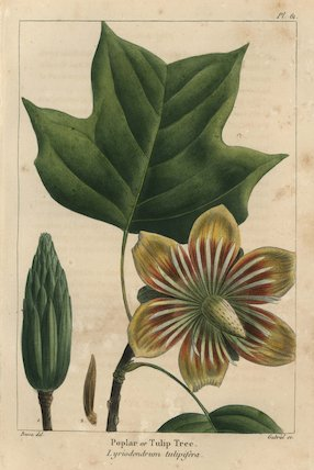 Poplar or tulip tree, Liriodendrum tulipifera