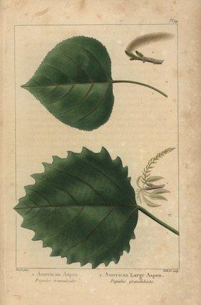 American aspen, Populus tremuloides, and American large aspen, Populus grandidenta