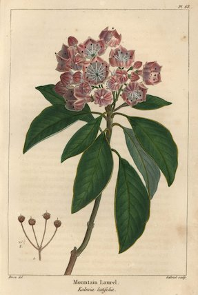Mountain laurel tree, Kalmia latifolia