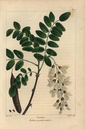 Locust tree, Robinia pseudo acacia
