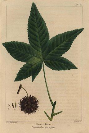 Sweet gum tree, Liquidambar styraciflua