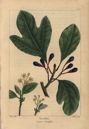 Sassafras tree, Laurus sassafras, Sassafras albidum