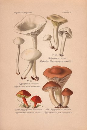 Hygrophorus eburneus, niveus, pratensis. and coccineus mushrooms