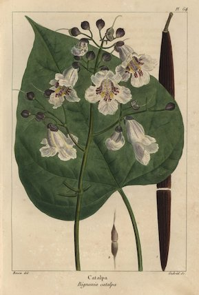 Catalpa tree, Bignonia catalpa