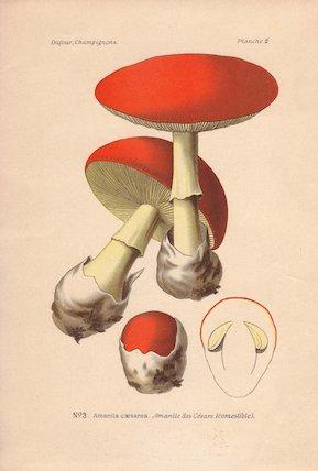 Caesar's mushroom