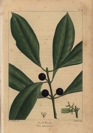 Devil wood tree, Olea americana