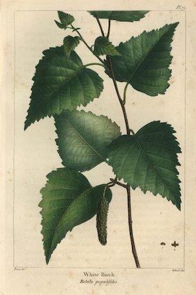 White birch, Betula populifolia