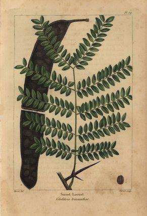 Sweet locust tree, Gleditsia triacanthos