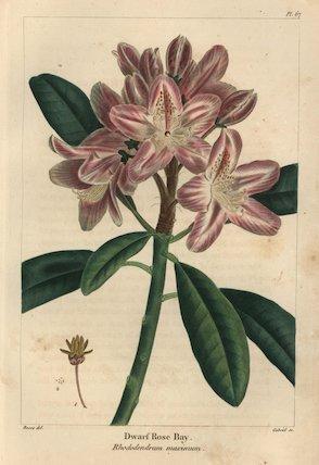 Dwarf rose bay or mountain laurel tree, Rhododendrum maximum