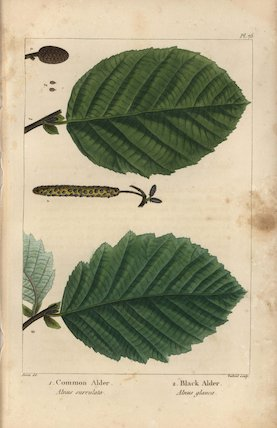 Common alder tree, Alnus surrulata, and black alder, Alnus glauca