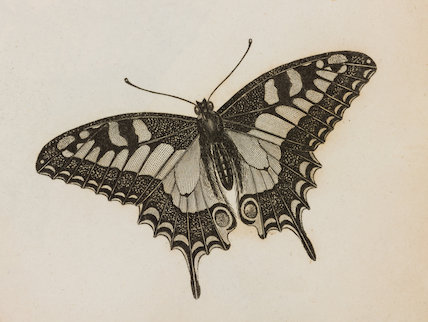Close up Illustration of Eq.Achiv.3 Papilio butterfly