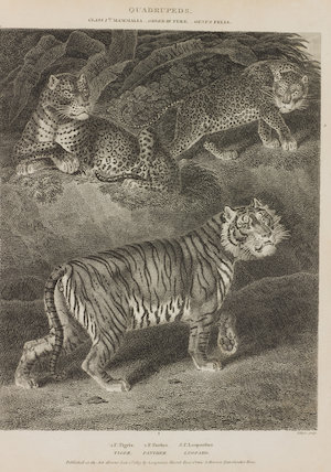 Full Page Illustration of Genus Felis.  Illustrations are of Felis Tigris; Felis Pardus; and Felis Leopardus.