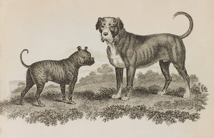 Close up illustration of a Mastiff and Bulldog.