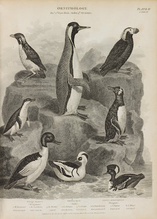 Full Page Illustration of Mergus merganser; M. Cucullalus; M. Albellus; A. Antiqua; A. Grrata; A. Patachonica; A. Papua; A. Minor.