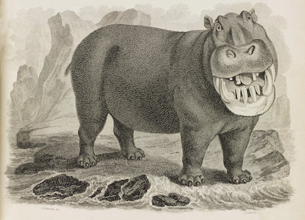Close up Illustration of Hippopotamus