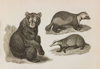Close up Illustration of Ursus Americanus; U. Gulo and U. Meles.