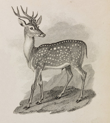 Close up illustration of a spotted axis.