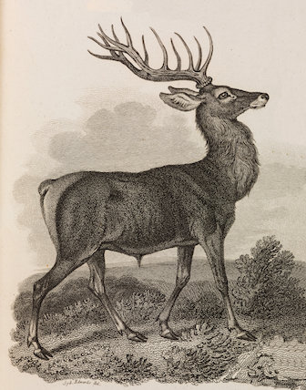 Close up illustration of a red deer.