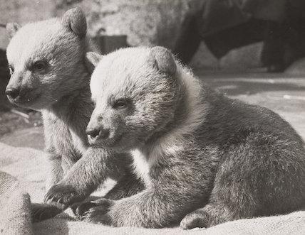 Syrian bear twins at London Zoo, 1959