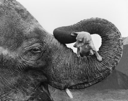 Elephant carrying dog