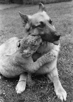 Alsatian and lion cub