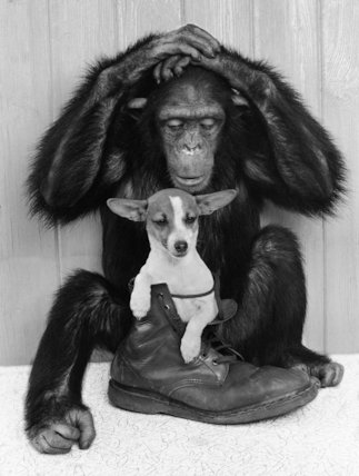 Chimpanzee and Jack Russell