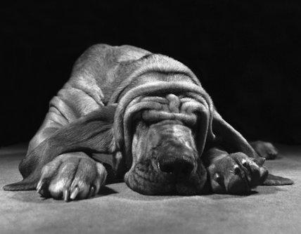 Wrinkled dog