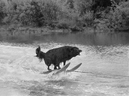 Water-skiing dog