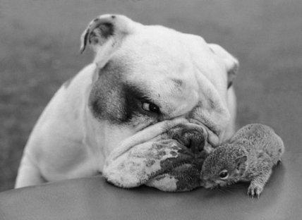 Bulldog and squirrel (B&W)