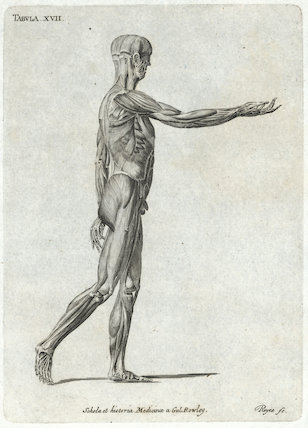 Tabula XVII, print showing the side view of the muscles in the human body, Europe, c.1860.
