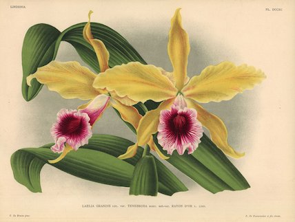 Rayon d'or sub-variety of Laelia grandis tenebrosa orchid