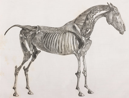 Part II Tab V: The fifth layer of the dissected horse, side view, showing the muscles, ligaments, nerves, arteries, veins, glands and cartilages.