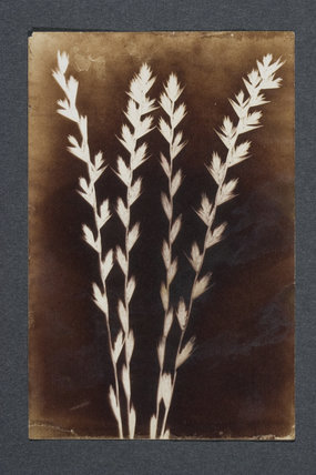 Photogenic drawing, showing perennial ryegrass (Lolium perenne)., 1970s
