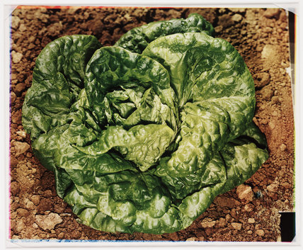Lettuce, about 1942