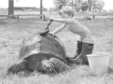 Boy scrubbing Giant Seychelle tortoise