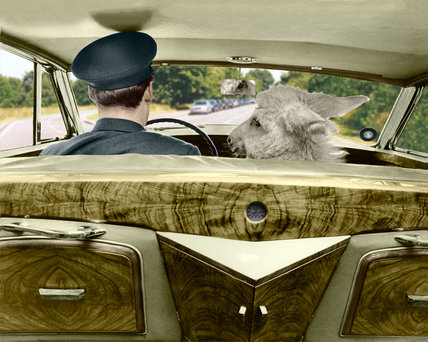 Chauffeur-driven miniature donkey
