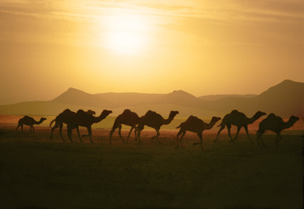 Camels in Moroccan Sahara