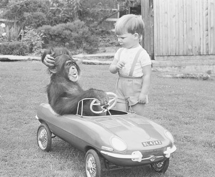 Sports car chimp