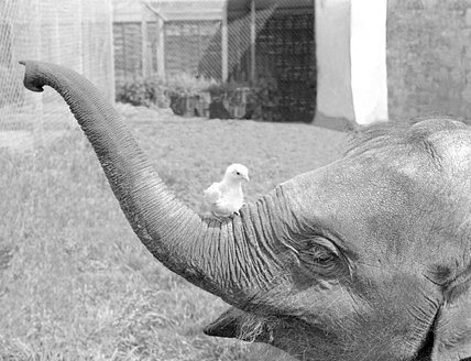 Elephant and chick become acquainted