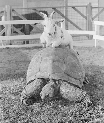 Goat and Giant Tortoise