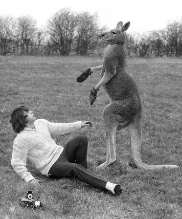 Kangaroo with paparazzi