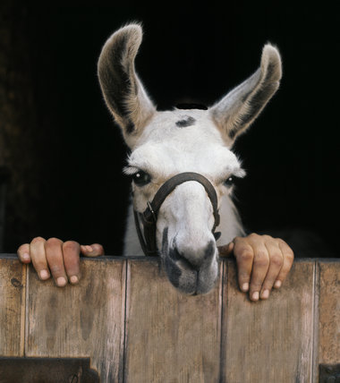 Handy' llama